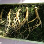 Ginseng je prirodni lijek koji se koristi već tisućljećima